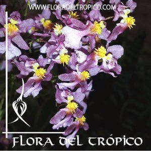 Orquidea Oncidium sotoanum Comprar - Tienda Flora del Tropico