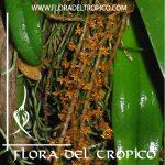 Orquidea Microterangis hariotiana Comprar - Tienda Flora del Tropico