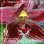Orquidea Paphinia cristata Comprar - Tienda Flora del Tropico