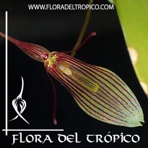 Orquidea Restrepia trichoglossa Comprar - Tienda Flora del Tropico
