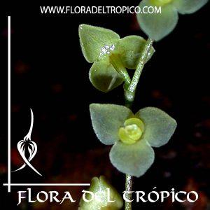 Orquidea Stelis argentata Comprar - Tienda Flora del Tropico