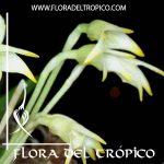 Orquidea Masdevallia minuta Comprar - Tienda Flora del Tropico