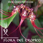 Orquidea Bulbophyllum gracillinum Comprar - Tienda Flora del Tropico