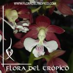 Orquidea Calanthe discolor Comprar - Tienda Flora del Tropico