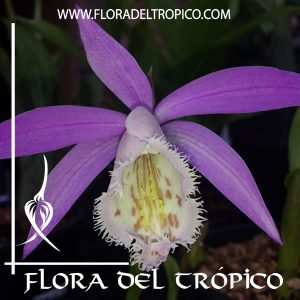 Orquidea Pleione formosana. Tienda Flora del Tropico