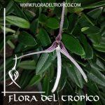 Orquidea Bulbophyllum dolichoglottis Comprar - Tienda Flora del Tropico