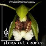 Orquidea Coelogyne speciosa Comprar - Tienda Flora del Tropico