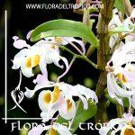 Orquidea Dendrobium signatum Comprar - Tienda Flora del Tropico