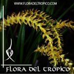 Orquidea Dendrochillum wenzelii forma amarilla Comprar - Tienda Flora del Tropico