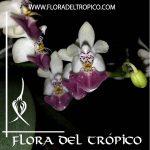 Orquidea Phalaenopsis parishii Comprar - Tienda Flora del Tropico