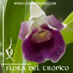 Orquídea-Cochelathes-discolor-comprar.-Tienda-Flora-del-Tropico
